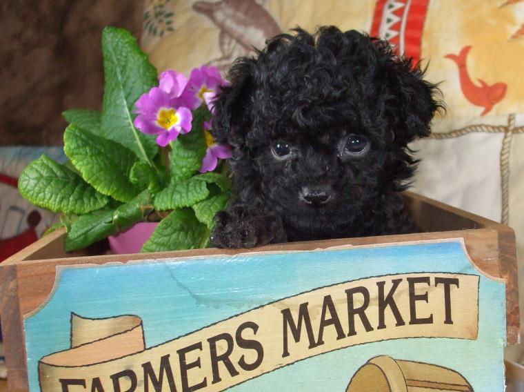 Toy Poodles For Saletea Cup Poodle Breeder Maryland Md