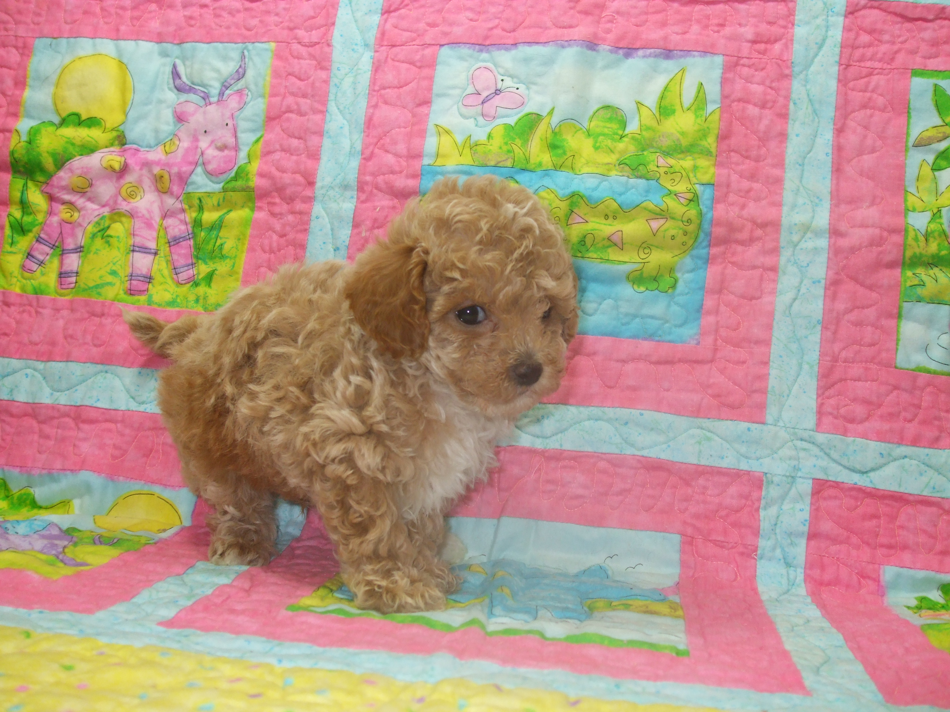 Mini Red Poodle