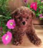Toy Tiny Toy Teacup Poodle Puppies Caniches Maryland