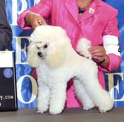 Toy Poodles For Saletea Cup Poodle Breeder Maryland Md
